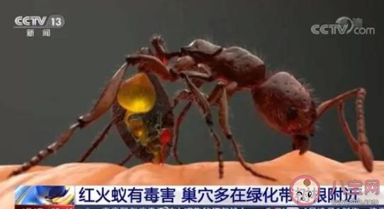 村民被红火蚁咬后休克怎么回事 被红火蚁咬伤怎么办