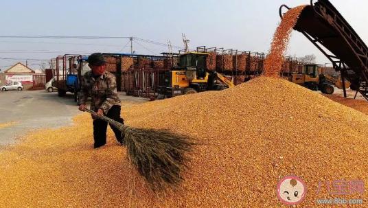 玉米价格为什么大涨 玉米价格何时恢复正常 投稿 第2张