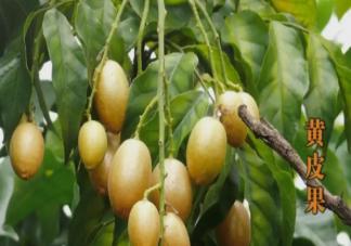黄皮和枇杷同一种水果吗 黄皮的皮和核能吃吗