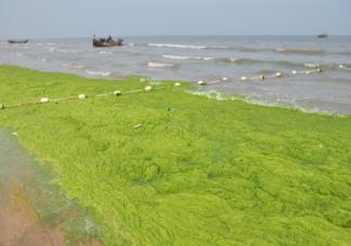 浒苔对海洋生态有哪些影响 浒苔为什么会泛滥暴发