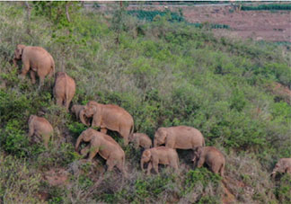 云南亚洲象群快到家了 为什么要让大象回家