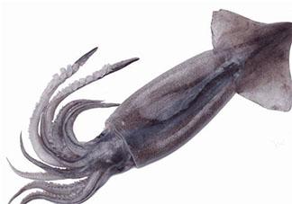 如何区分辨别鱿鱼八爪鱼墨鱼 鱿鱼八爪鱼墨鱼有什么区别