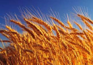 中国最早的小麦栽培距今多少年 蚂蚁庄园10月22日每日一题答案
